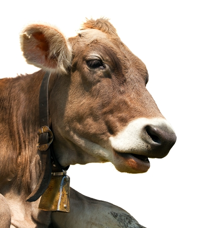 head of brown cow bos primigenius taurus with cowbell isolated on white background Banco de Imagens
