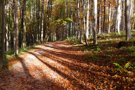 hued: view from autumnal hardwood forest - european beechs fagus sylvatica Stock Photo