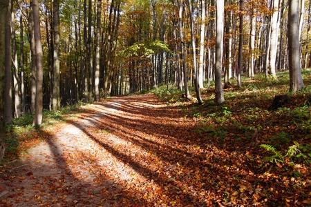 fagaceae: view from autumnal hardwood forest - european beechs fagus sylvatica Stock Photo