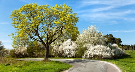 springy: Springtime view, road and flowering trees Stock Photo
