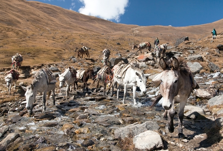mules: Caravan of mules in nepalese Himalayas