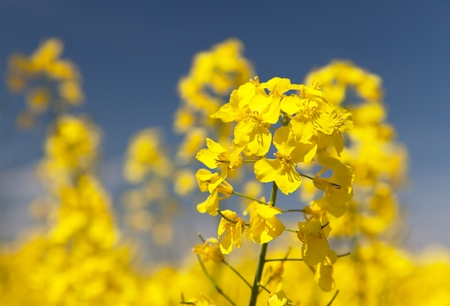 coleseed: detail of flowering rapeseed - Brassica Napus - plant for green energy and oil industry