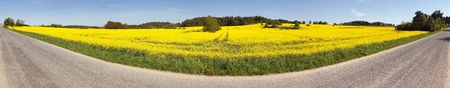 energy fields: Panoramic view of rapeseed brassica napus field and road