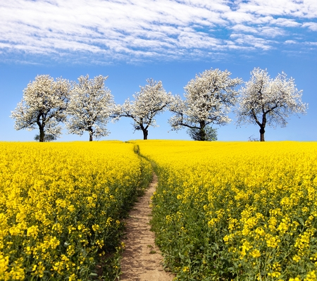 napus: Rapeseed field with parhway and alley of flowering cherry trees - Brassica Napus - plant for green energy and oil industry