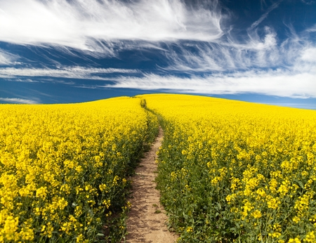 brassica: Field of rapeseed with rural road and beautiful cloud brassica napus - plant for green energy and green industry
