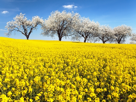 blue and white: field of rapeseed and alley of cherry tree, rapeseed is the best plant for green energy and oil industry
