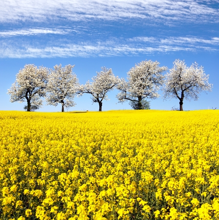 coleseed: field of rapeseed and alley of cherry tree, rapeseed is the best plant for green energy and oil industry