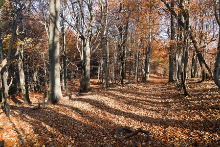 fagaceae: view from autumnal hardwood forest - european beechs fagus sylvatica Stock Photo