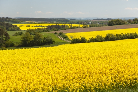 rapeseed: View of flowering field of rapeseed - brassica napus - plant for green energy and oil industry
