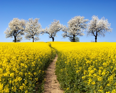 coleseed: Rapeseed field with parhway and alley of flowering cherry trees - Brassica Napus - plant for green energy and oil industry