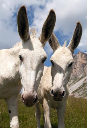 italien: Donkey Equus africanus asinus on mountain in Italien Dolomites