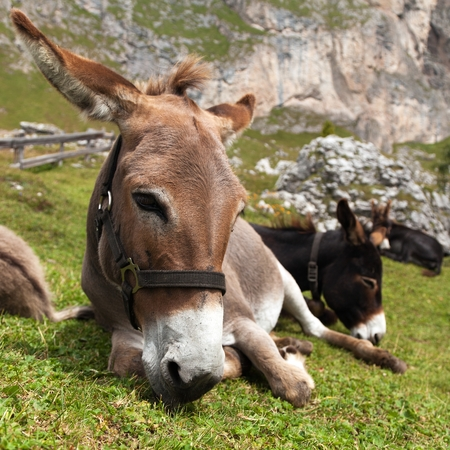 tinker bell: Donkeys Equus africanus asinus laying on dhe meadow