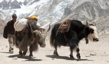 herdsman: GORAK SHEP, NEPAL, 27th APRIL 2016 - Yaks and Nepalese people near Gorak shep village on the way to Everest base camp - Nepal