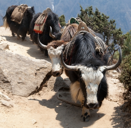 Caravan of yaks going to Everest base camp, Sagarmatha national park, Khumbu valley, Nepal Stock Photo