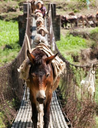 mules: Caravan of mules on rope hanging suspension bridge in Nepal