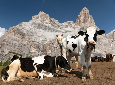 tinker bell: herd of cows (bos Taurus) on mountain laying om meadow with bell near Monte Pelmo, Dolomites, Italy