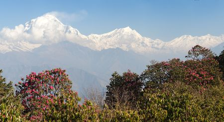 Dhaulagiri. Mount Dhaulagiri from Poon Hill view point and red rhododendrons, Nepal