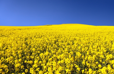 brassica: golden field of flowering rapeseed with blue sky - brassica napus - plant for green energy and oil industry