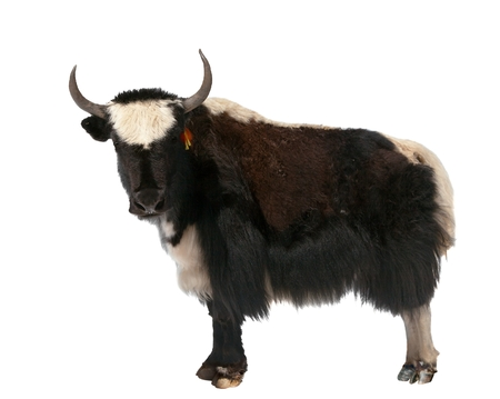 Black and white yak (Bos mutus) isolated on white background