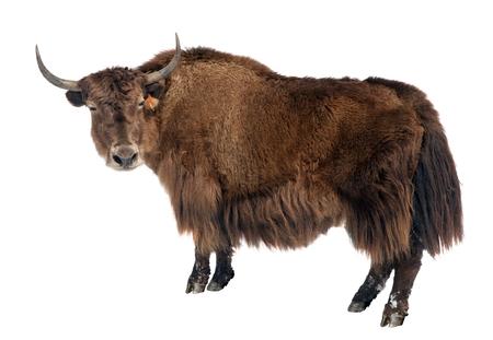 brown yak (Bos mutus) isolated on white background 版權商用圖片