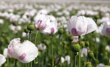 field of flowering opium poppy papaver somniferum Stock Photo
