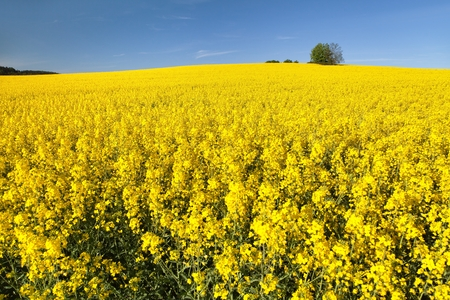 golden field of flowering rapeseed with blue sky - brassica napus - plant for green energy and oil industry