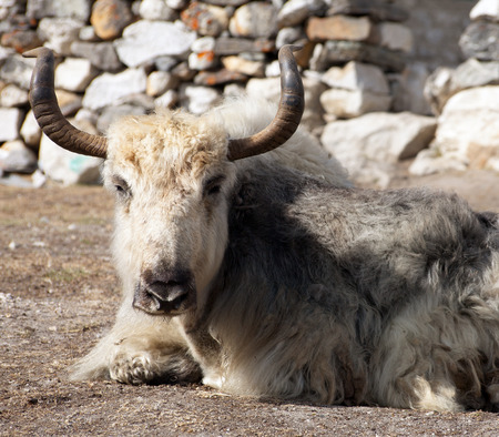 White and grey yak which is lying outside of lodge in nepalese himalayas, Everest area, Nepal