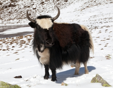 Black and white yak on snow background in Annapurna Area near Ice lake, Nepal