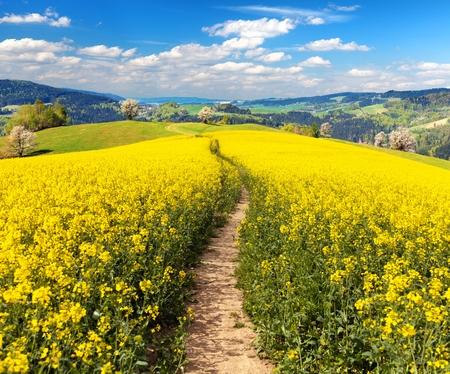 菜の花、菜種やラテン ナタネ田舎道と美しい雲、菜の花の菜種の分野、グリーン エネルギー、グリーン産業、春黄金花菜の花フィールドの植物 写真素材