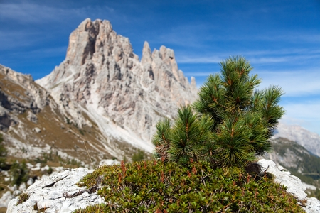 Small pine tree and stone and Cima Ambrizola and Clroda da Lago, Italien dolomites Stock Photo