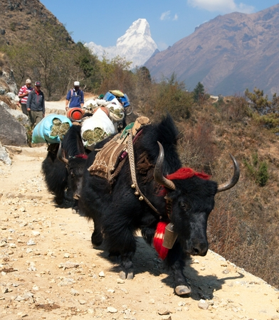 tibetian: KHUMBU WALLEY, NEPAL, 28th MAY 2016 - yaks with goods and nepalese on the way to Everest base camp and Ama Dablam, way to Everest base camp, Nepal