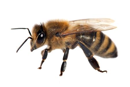 mellifera: detail of bee or honeybee in Latin Apis Mellifera, european or western honey bee isolated on the white background, golden honeybee