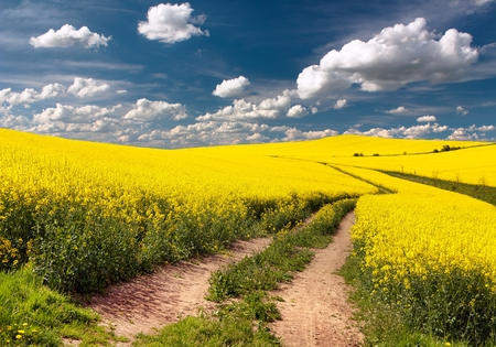 canola plant: Field of rapeseed, canola or colza in Latin Brassica napus with rural road and beautiful cloud, rapeseed is plant for green energy and green industry, springtime golden flowering rapeseed field Stock Photo