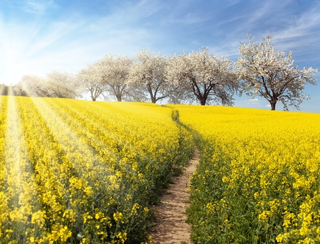canola plant: Rapeseed, canola or colza field with parhway and alley of flowering cherry trees and sun - Brassica Napus - plant for green energy and oil industry