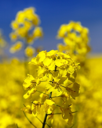 detail of flowering rapeseed - Brassica Napus - plant for green energy and oil industry