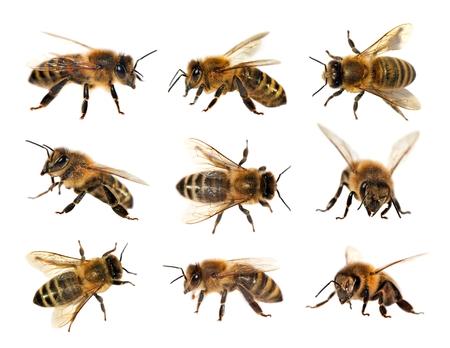 rostrum: group of bee or honeybee in Latin Apis Mellifera, european or western honey bee isolated on the white background, golden honeybee Stock Photo