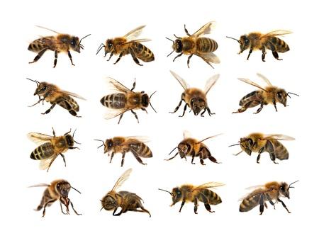蜂やラテン セイヨウミツバチ、黄金のミツバチは、白地に分離されたヨーロッパや西洋ミツバチ ミツバチのグループ