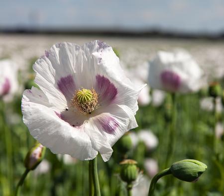 Detail of flowering poppy or opium poppy in Latin papaver somniferum, poppy field, white colored poppy is grown in Czech Republic