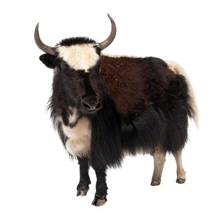 nepali: Black and white yak (Bos grunniens or Bos mutus) isolated on white background