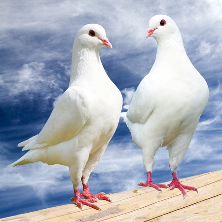 Two white pigeon on perch with cloudy sky, imperial pigeon, ducula Reklamní fotografie