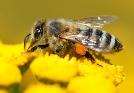 mellifera: detail of bee or honeybee in Latin Apis Mellifera, european or western honey bee pollinated of the yellow flower, golden honeybee on flower