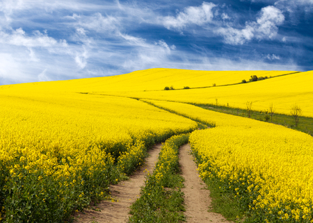 Field of rapeseed, canola or colza in Latin Brassica napus with rural road and beautiful cloud, rapeseed is plant for green energy and green industry, springtime golden flowering rapeseed field Stock Photo