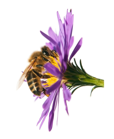detail of bee or honeybee in Latin Apis Mellifera, european or western honey bee sitting on the violet flower isolated on white background, golden honeybee on flower Stock Photo