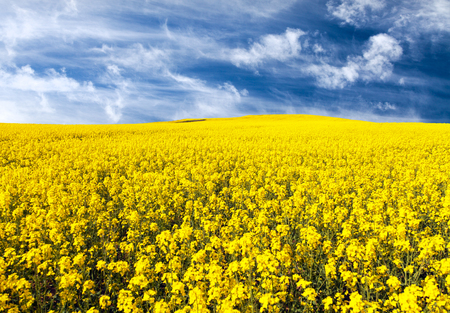 golden field of flowering rapeseed, canola or colza with beautiful clouds on sky - brassica napus - rapeseed is plant for green energy and oil industry