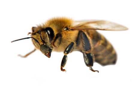 detail of bee or honeybee in Latin Apis Mellifera, european or western honey bee isolated on the white background, golden honeybee