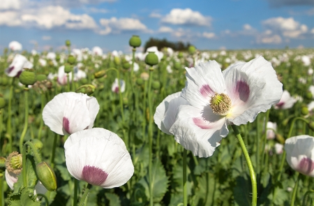 Detail of flowering opium poppy in Latin papaver somniferum, poppy field, white colored poppy is grown in Czech Republic Stock Photo