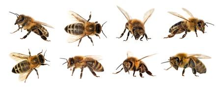 mellifera: group of bee or honeybee in Latin Apis Mellifera, european or western honey bee isolated on the white background, golden honeybee Stock Photo