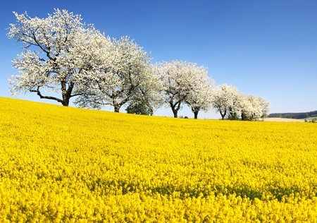 Rapeseed, canola or colza and alley of flowering cherry trees - Brassica Napus - rape seed is plant for green energy and oil industry - spring time view Stock Photo