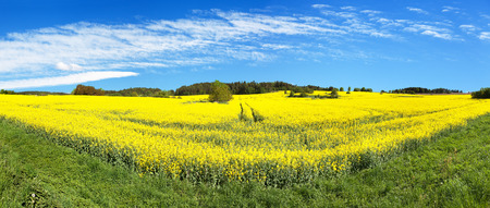 Field of rapeseed, canola or colza in Latin Brassica Napus with beautiful cloud, rape seed is plant for green energy and green industry, springtime golden flowering field, panoramic view Stock Photo