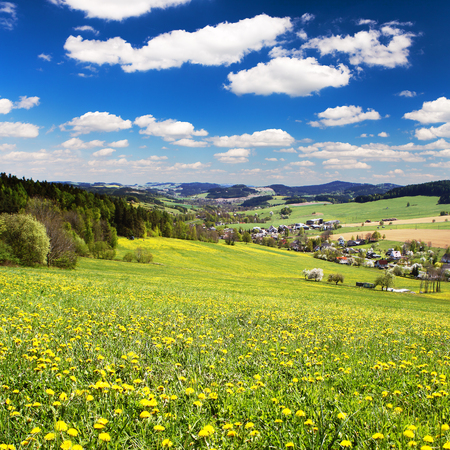 yellow flowering meadow full of dandelion, springtime view from Bohemian-moravian highlands, Czech Republic